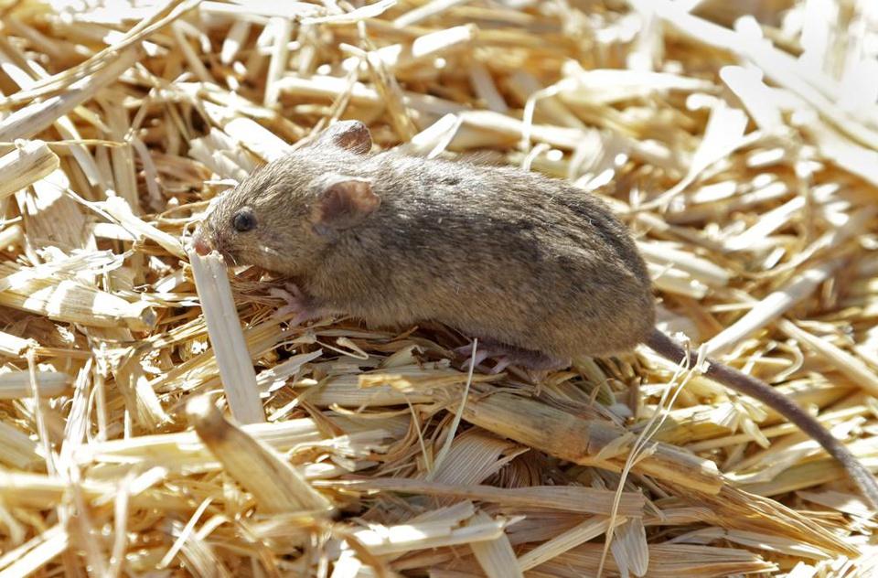 """Chuột nhà hoành hành """"lớn chưa từng có"""", nông dân Australia có thể thiệt hại tới 775 triệu USD - Ảnh 3."""