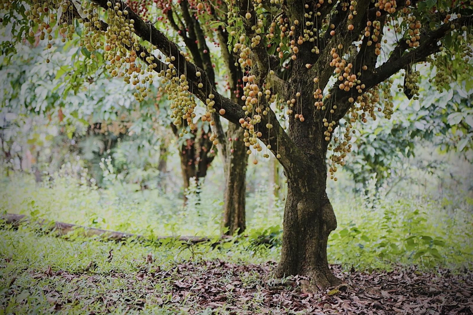 Hà Tĩnh: Loại quả mọc chi chít từ gốc đến ngọn, thương lái phải đến tận vườn đặt mua? - Ảnh 12.