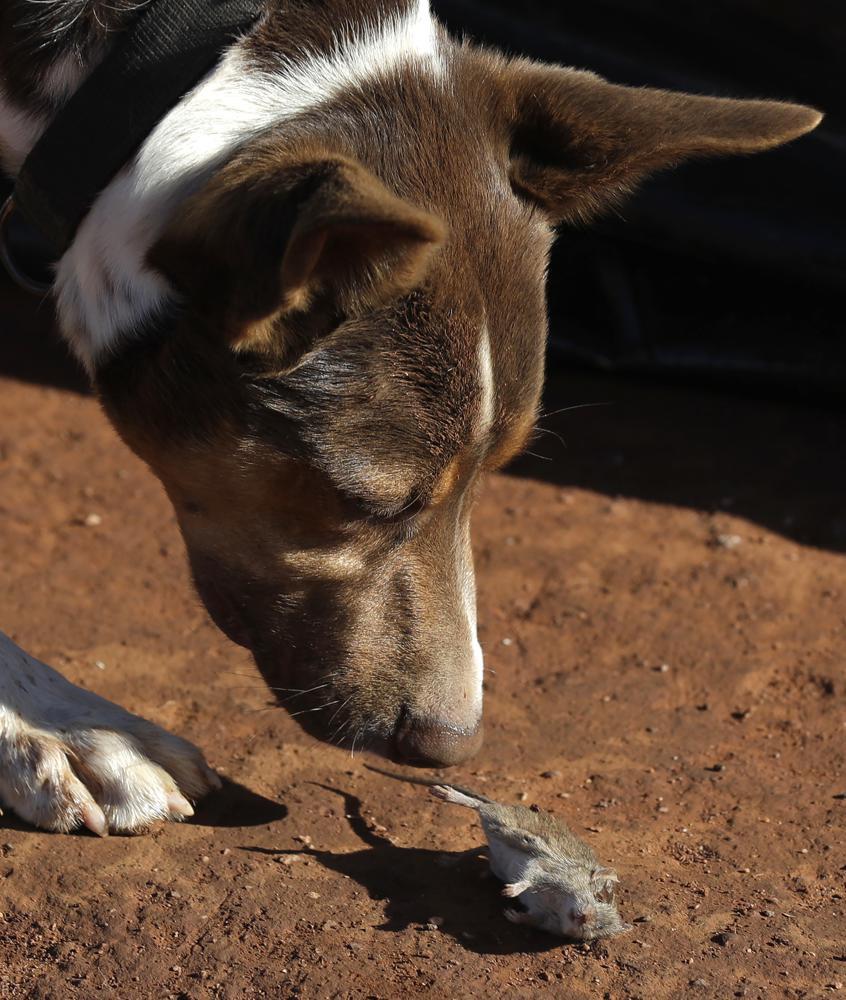 """Chuột nhà hoành hành """"lớn chưa từng có"""", nông dân Australia có thể thiệt hại tới 775 triệu USD - Ảnh 9."""