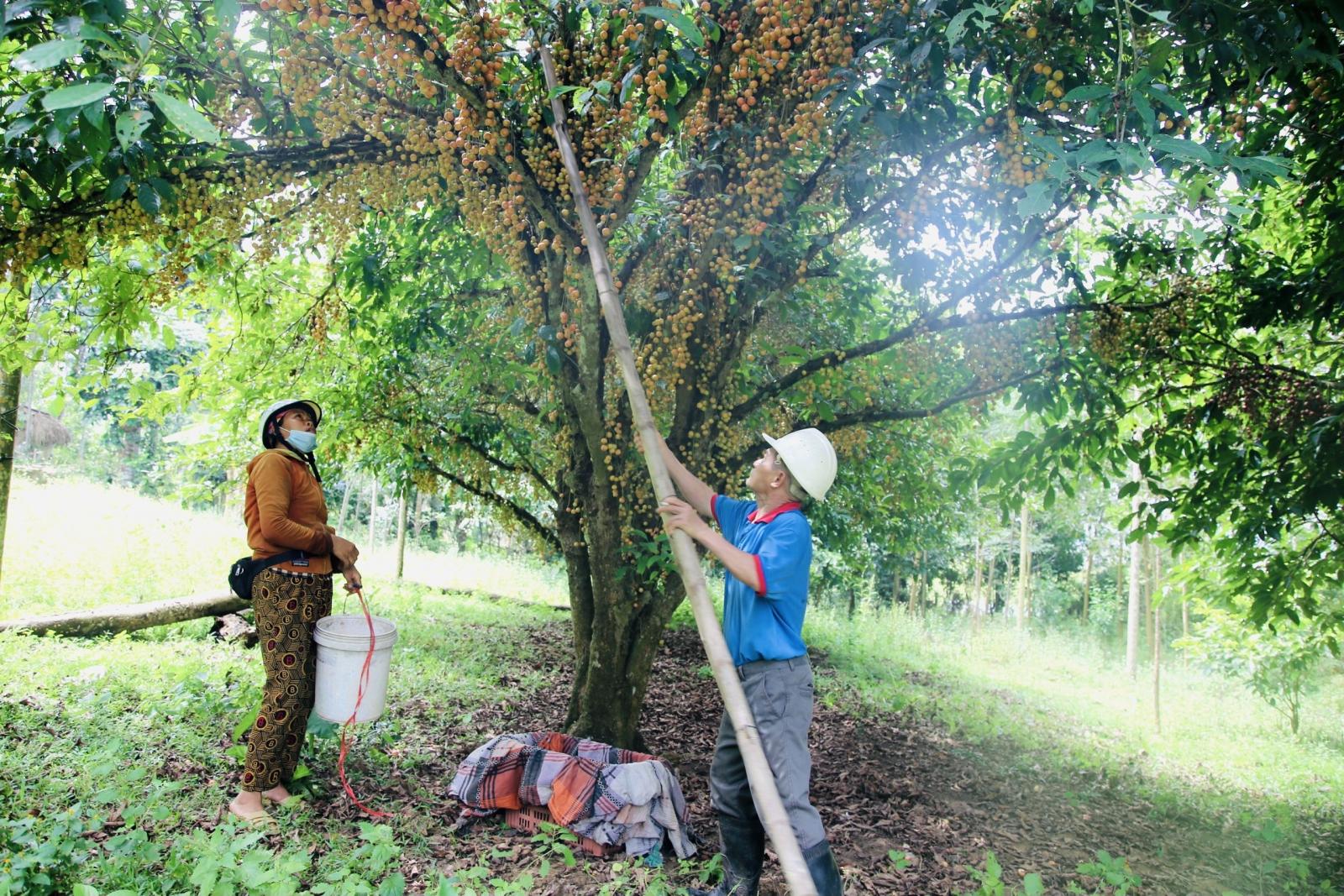 Hà Tĩnh: Loại quả mọc chi chít từ gốc đến ngọn, thương lái phải đến tận vườn đặt mua? - Ảnh 6.
