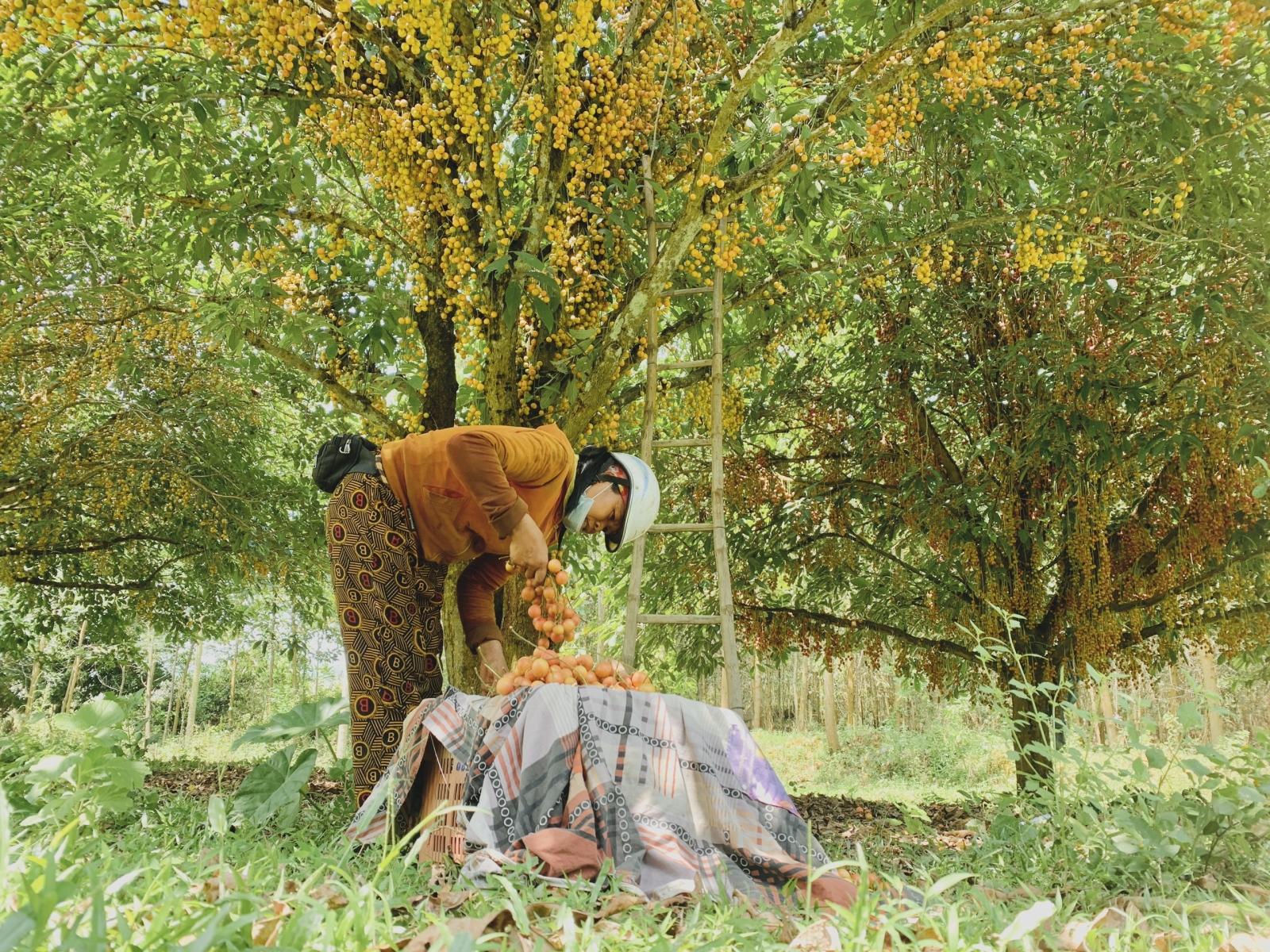 Hà Tĩnh: Loại quả mọc chi chít từ gốc đến ngọn, thương lái phải đến tận vườn đặt mua? - Ảnh 11.
