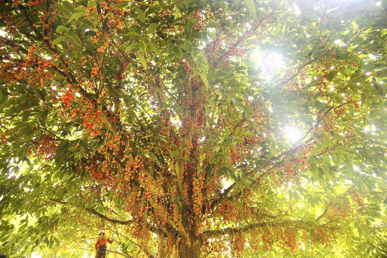Hà Tĩnh: Loại quả mọc chi chít từ gốc đến ngọn, thương lái phải đến tận vườn đặt mua? - Ảnh 4.