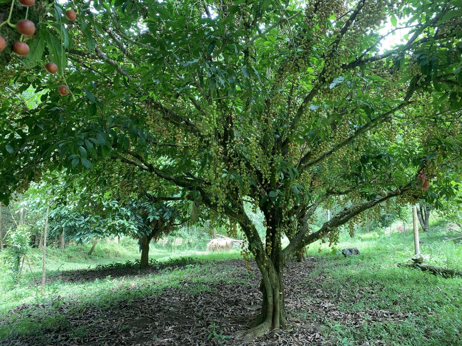 Hà Tĩnh: Loại quả mọc chi chít từ gốc đến ngọn, thương lái phải đến tận vườn đặt mua? - Ảnh 9.