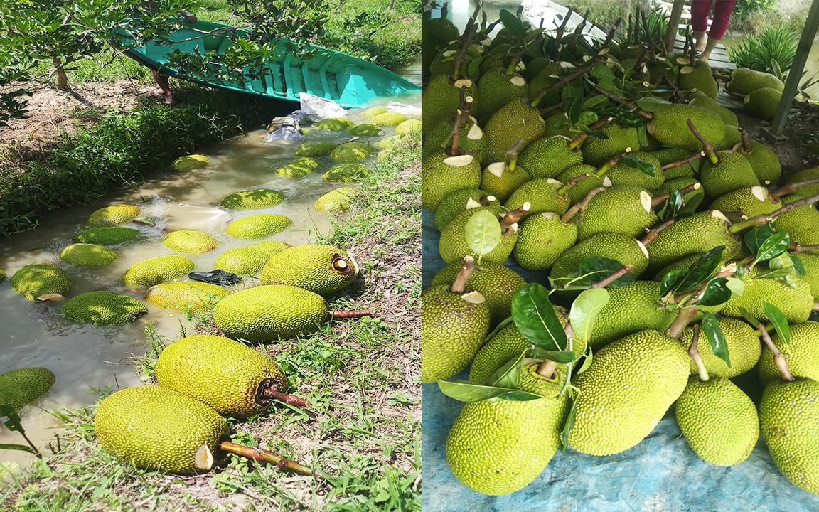 Giá mít Thái hôm nay 30/5: Giá mít Thái Tiền Giang tụt khỏi mốc 10.000 đồng/kg, vì sao mùa mưa mít thối trái nhiều?