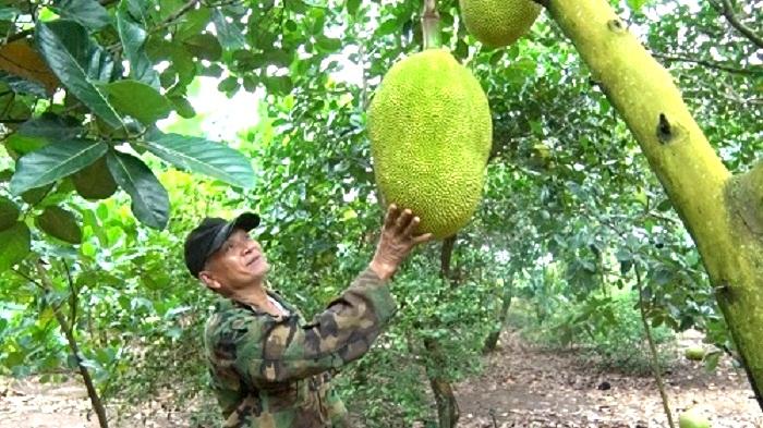 Giá mít còn 500 đồng/kg, chủ vườn đau đớn làm điều này  - Ảnh 2.