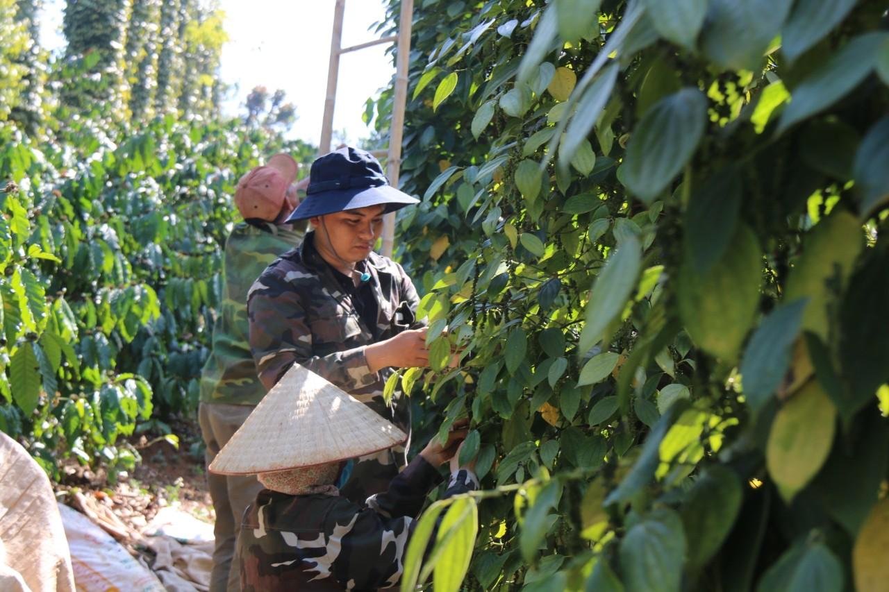 Đắk Nông: Dân lại ồ ạt trồng hồ tiêu vì giá tăng cao - Ảnh 3.