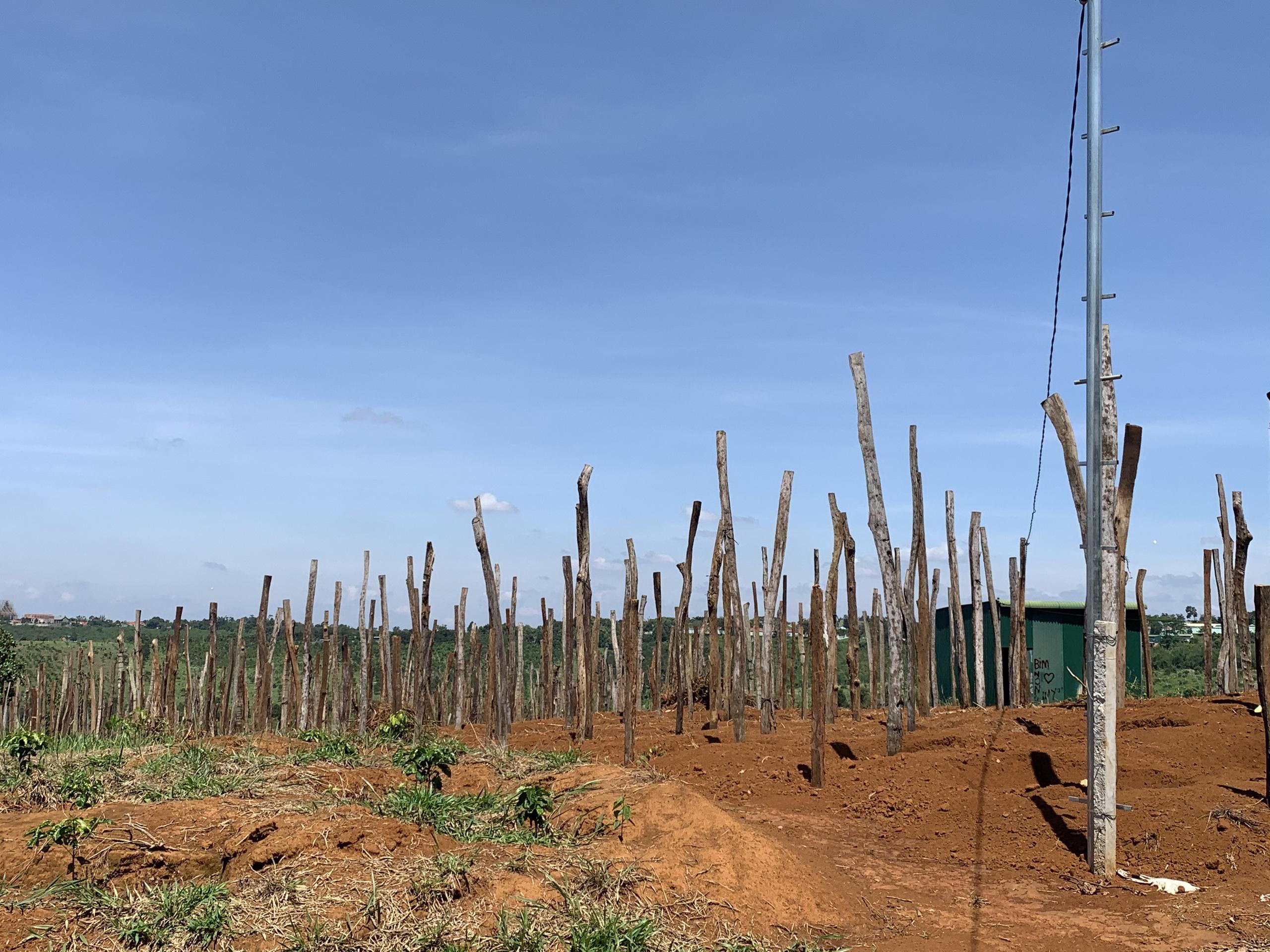 Đắk Nông: Dân lại ồ ạt trồng hồ tiêu vì giá tăng cao - Ảnh 2.