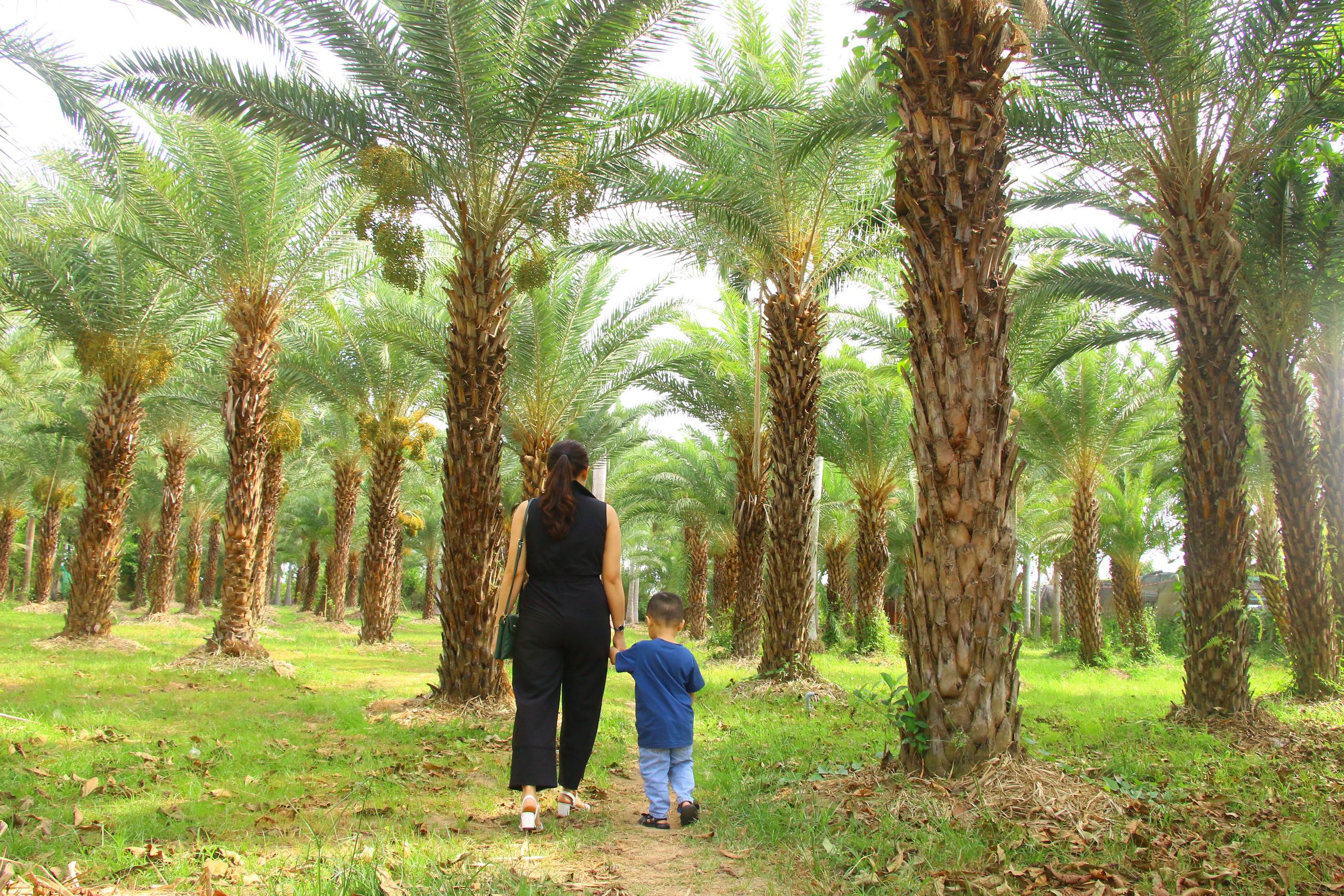 Ngất ngây với vẻ đẹp của vườn chà là ở Sa Đéc - Ảnh 2.