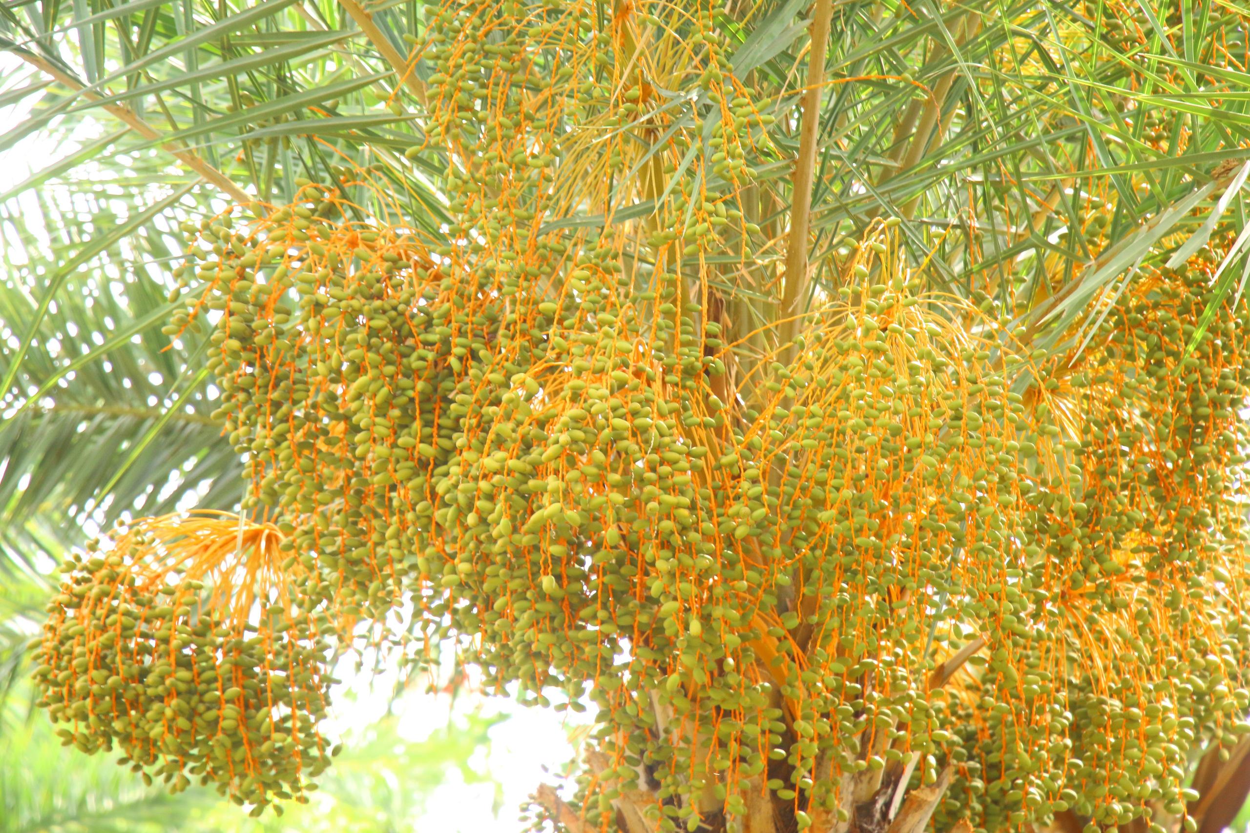 Ngất ngây với vẻ đẹp của vườn chà là ở Sa Đéc - Ảnh 4.