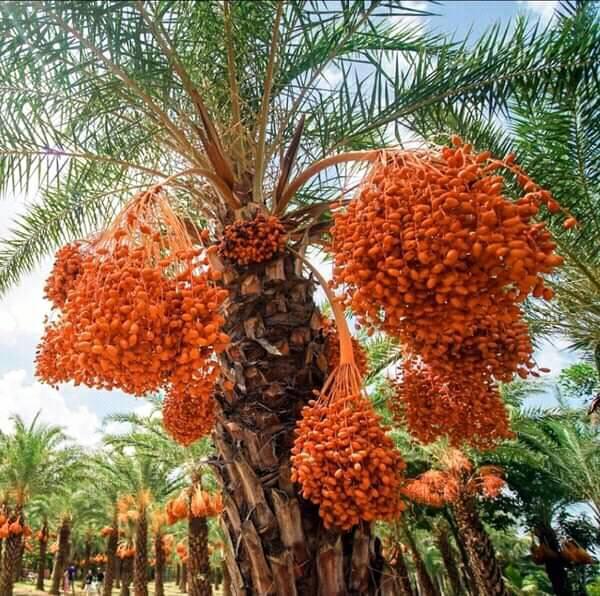 Ngất ngây với vẻ đẹp của vườn chà là ở Sa Đéc - Ảnh 8.
