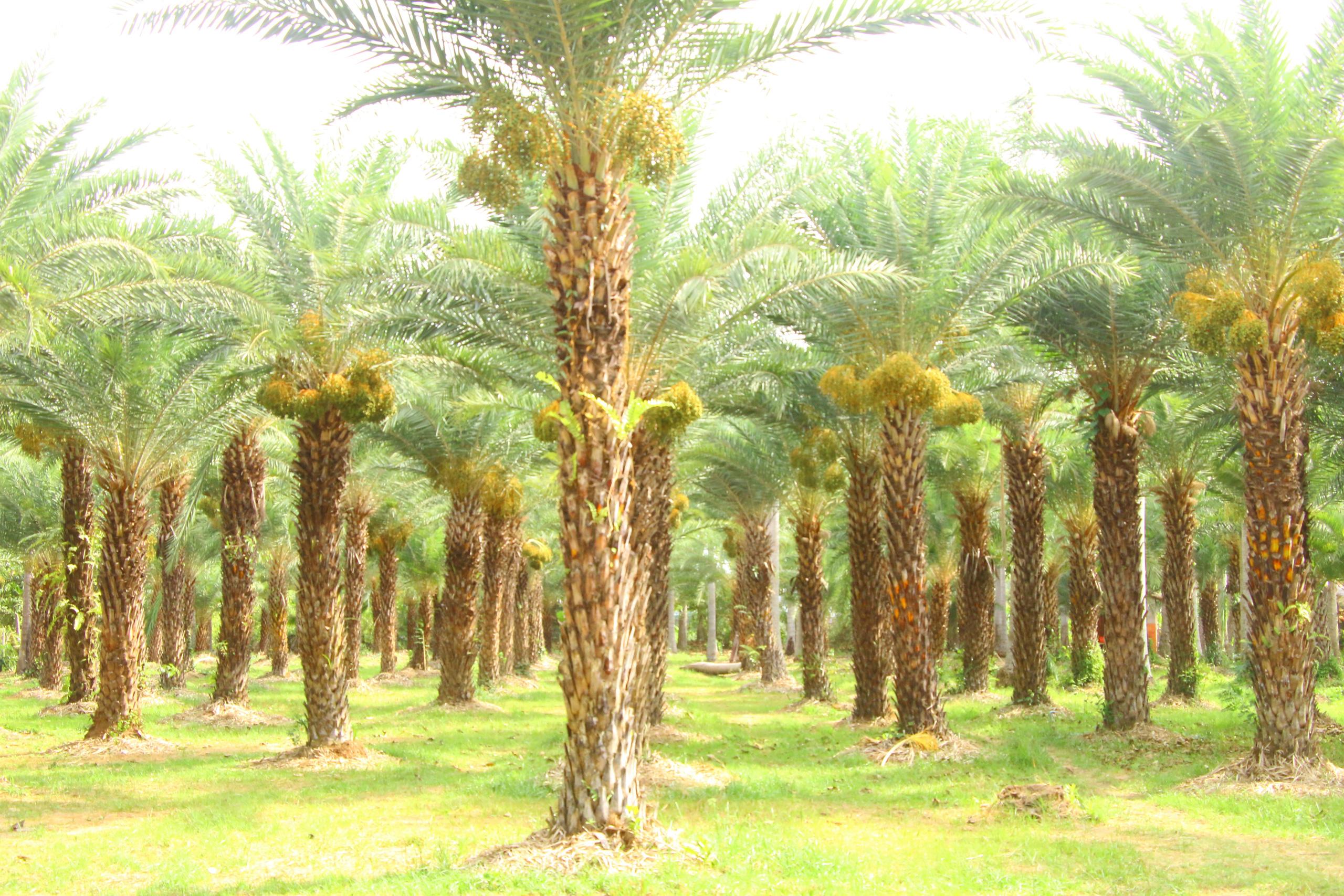 Ngất ngây với vẻ đẹp của vườn chà là ở Sa Đéc - Ảnh 10.