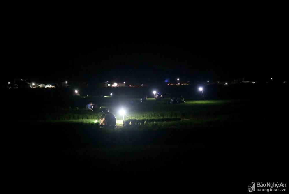 Tránh nắng nóng, người dân Nghệ An chong đèn nhổ mạ, cấy lúa đêm, ngoài ruộng vui hơn ở nhà - Ảnh 1.
