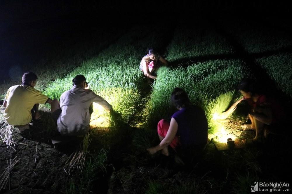 Tránh nắng nóng, người dân Nghệ An chong đèn nhổ mạ, cấy lúa đêm, ngoài ruộng vui hơn ở nhà - Ảnh 2.