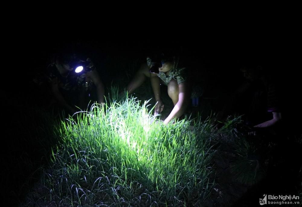 Tránh nắng nóng, người dân Nghệ An chong đèn nhổ mạ, cấy lúa đêm, ngoài ruộng vui hơn ở nhà - Ảnh 3.