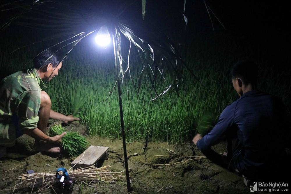 Tránh nắng nóng, người dân Nghệ An chong đèn nhổ mạ, cấy lúa đêm, ngoài ruộng vui hơn ở nhà - Ảnh 6.