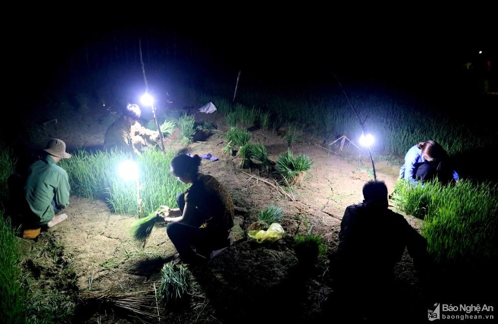 Tránh nắng nóng, người dân Nghệ An chong đèn nhổ mạ, cấy lúa đêm, ngoài ruộng vui hơn ở nhà - Ảnh 7.