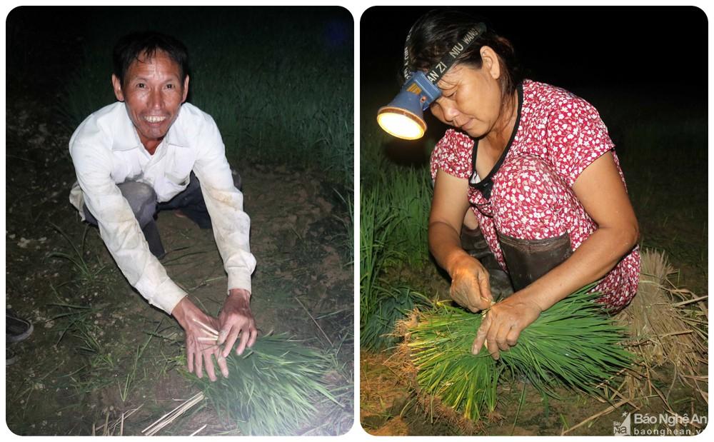 Tránh nắng nóng, người dân Nghệ An chong đèn nhổ mạ, cấy lúa đêm, ngoài ruộng vui hơn ở nhà - Ảnh 10.