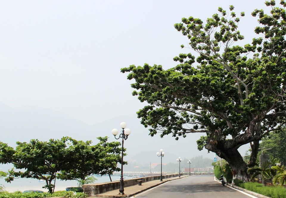 Huyện đảo nào có nhiều cây bàng cổ thụ di sản nhất cả nước? - Ảnh 1.