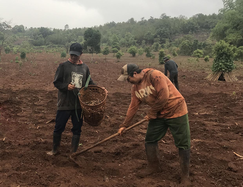 """Gia Lai: Mới mưa có 1-2 trận, nông dân đã vội đem hom mì ra trồng, kết quả nhiều hộ """"mất tiền oan"""" - Ảnh 2."""