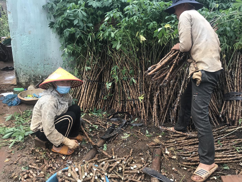 """Gia Lai: Mới mưa có 1-2 trận, nông dân đã vội đem hom mì ra trồng, kết quả nhiều hộ """"mất tiền oan"""" - Ảnh 1."""