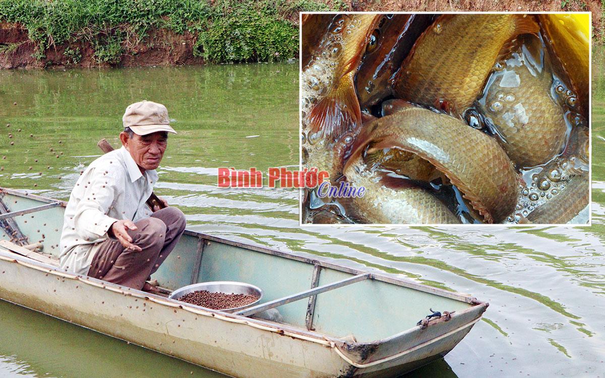 Bình Phước: Nuôi cá rô đồng trong cái ao 300m2, cứ 1 năm bắt bán 4 tấn, thương lái không nhanh chân là hết - Ảnh 1.