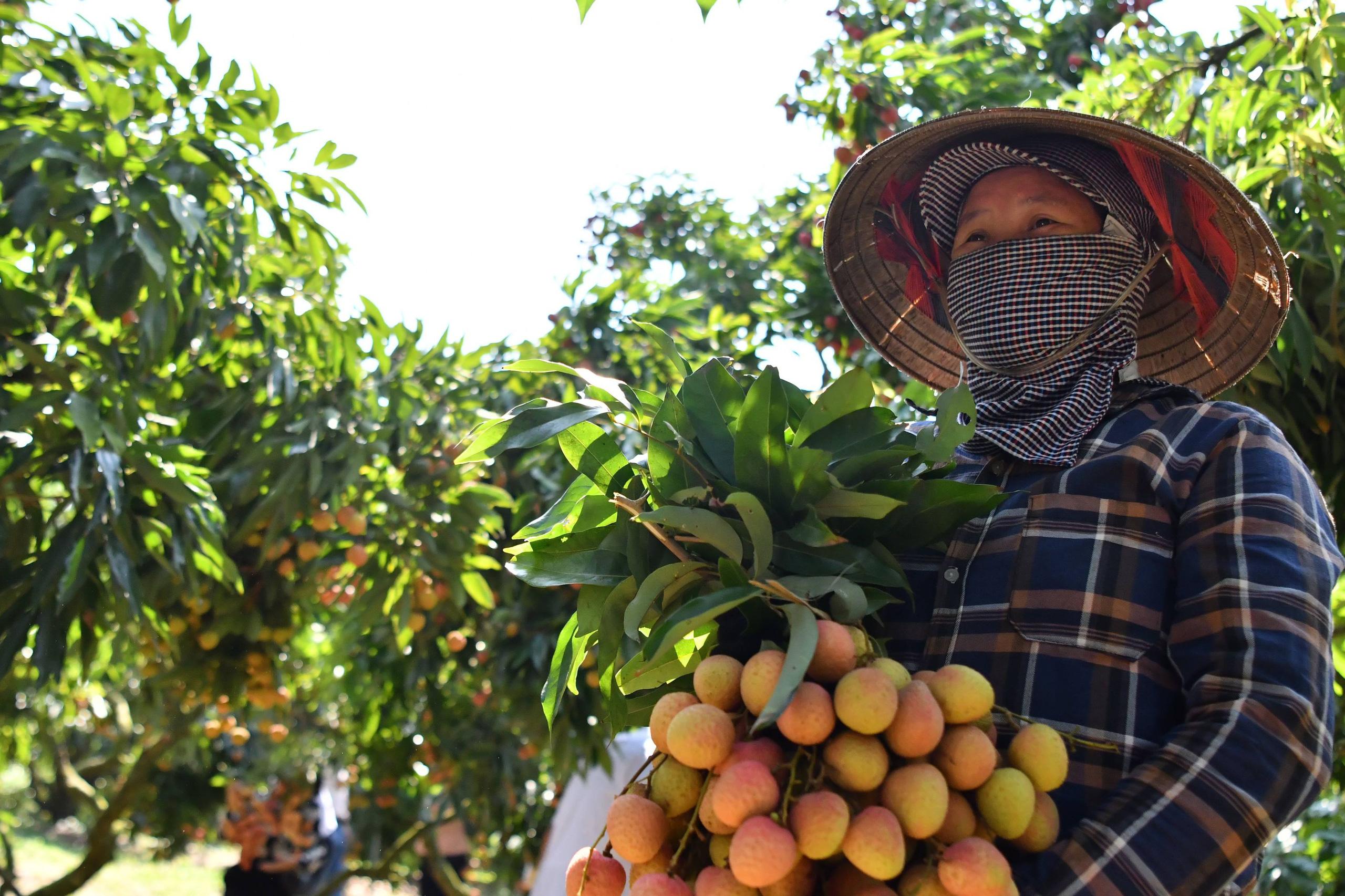 Bộ trưởng Lê Minh Hoan hứa sẽ kiến nghị Thủ tướng việc khó Bắc Giang không giải quyết được trong tiêu thụ vải thiều - Ảnh 3.