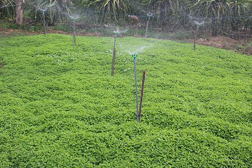Bình Thuận: Bạc hà là cây gì mà dân ở đây trồng thơm cả cánh đồng, nấu ra tinh dầu bao nhiêu đều bán hết? - Ảnh 2.
