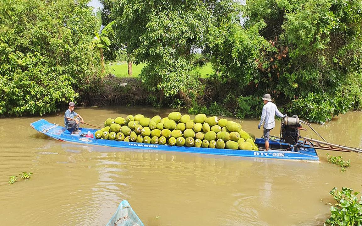 Giá mít Thái hôm nay 31/5: Mít Thái loại Nhất tăng thêm 1 giá, chủ vựa nói câu gì động viên nông dân trồng mít?