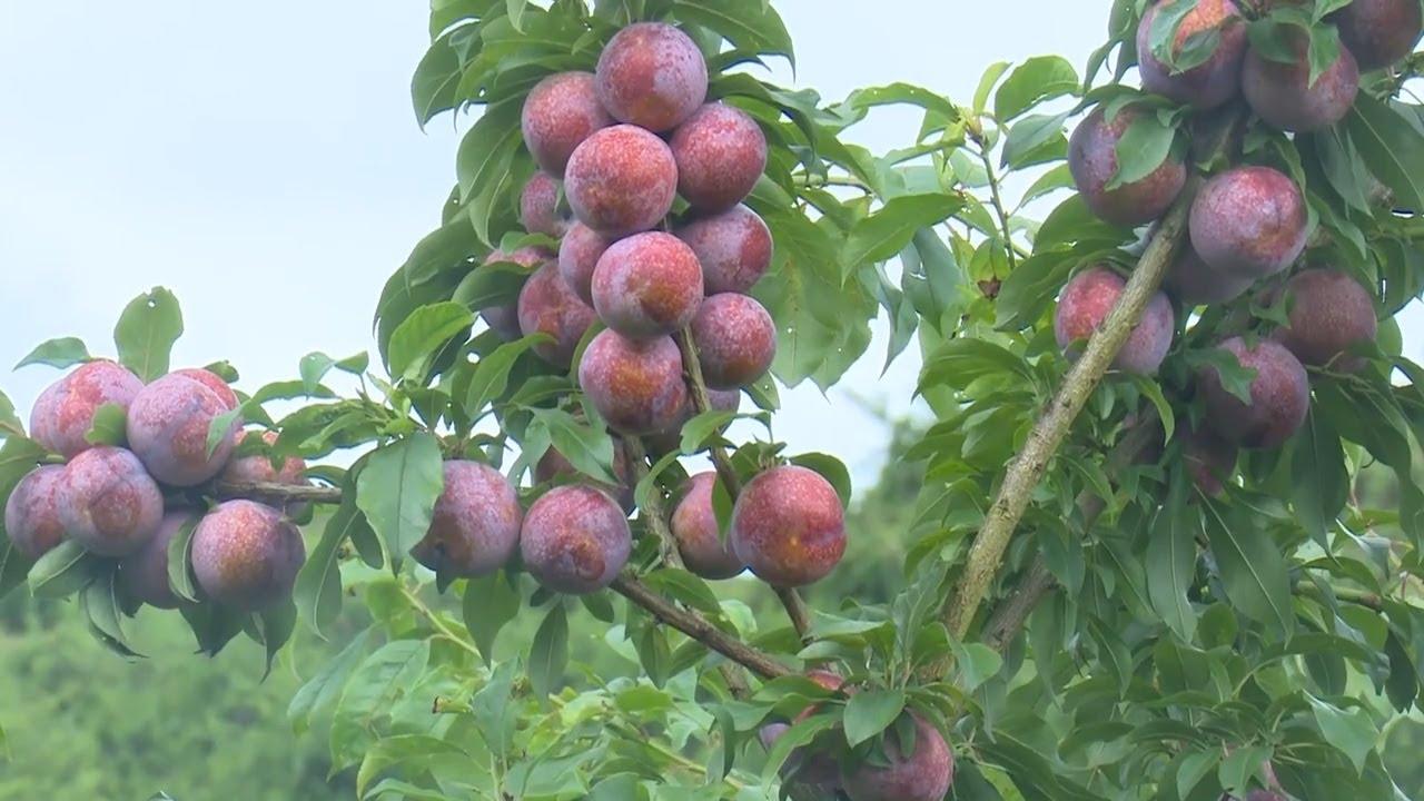 Nông dân Sơn La sẽ livestream bán nông sản trên nền tảng số - Ảnh 1.