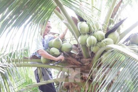 Dừa khô nguyên liệu tăng giá - Ảnh 1.