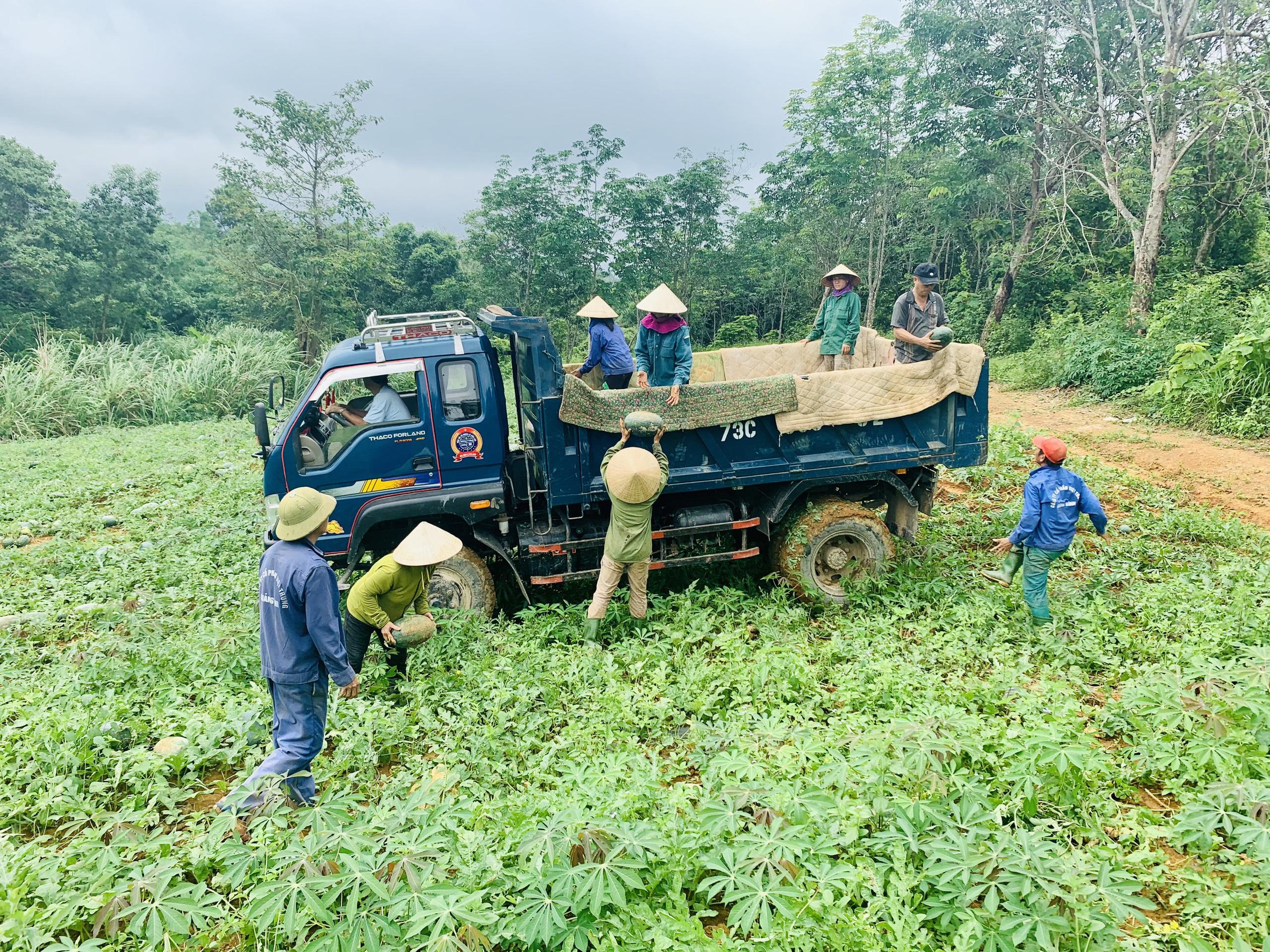 Quảng Bình: Dưa hấu cho quả to, nông dân đánh xe ô tô ra đồng thu hái - Ảnh 2.