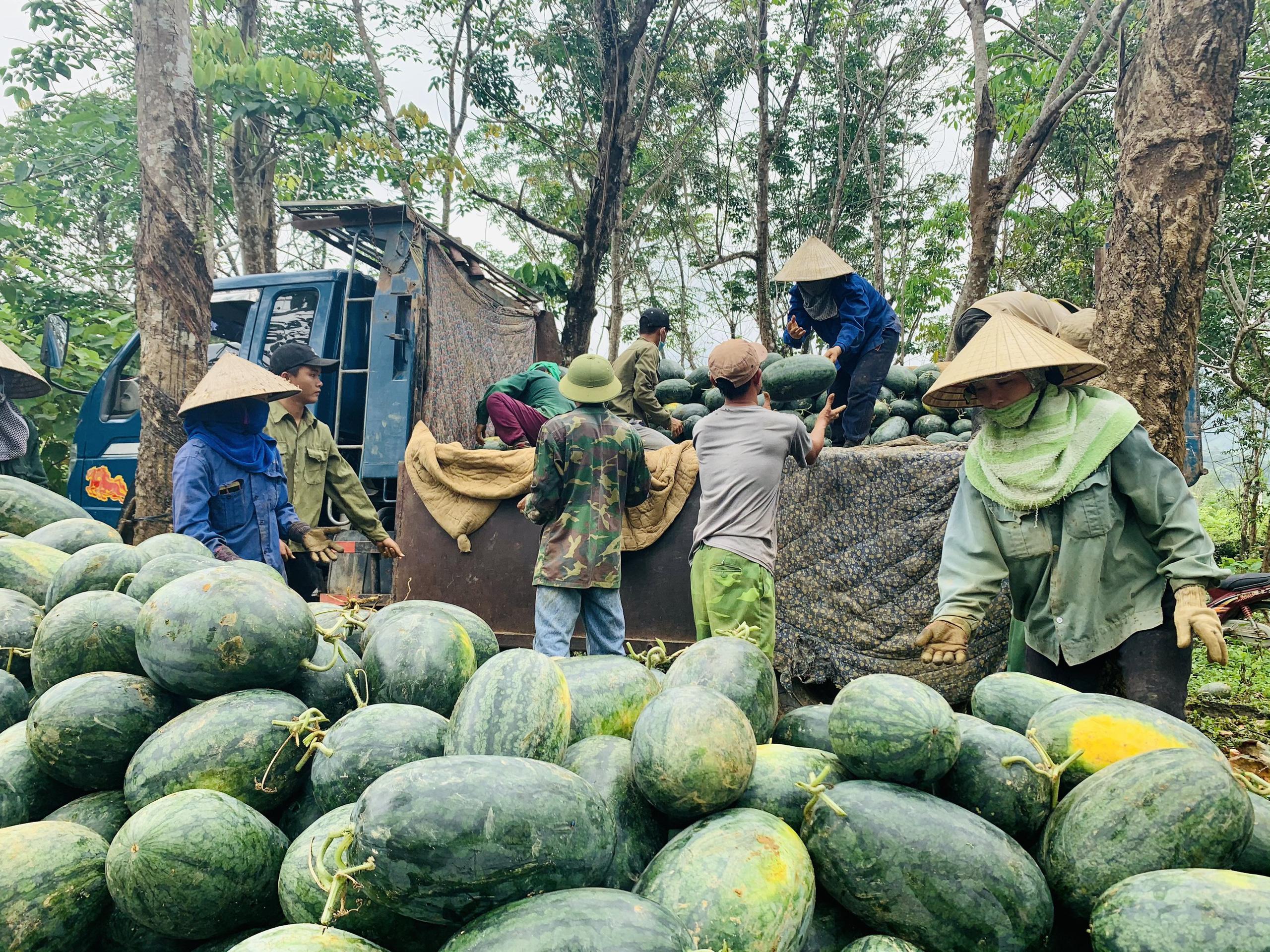 Quảng Bình: Dưa hấu cho quả to, nông dân đánh xe ô tô ra đồng thu hái - Ảnh 7.