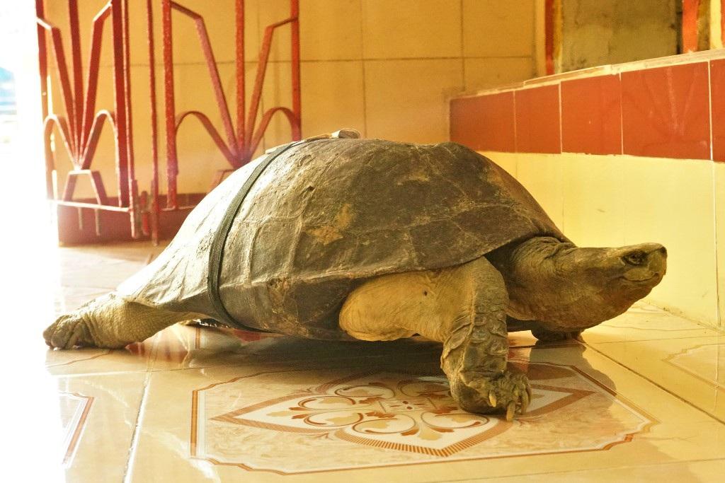 """Cực lạ Đồng Tháp: Những """"cụ"""" rùa trăm tuổi trong ngôi chùa cổ thích nghe kinh, ăn chay đặc biệt cực kì thích rau muống - Ảnh 1."""