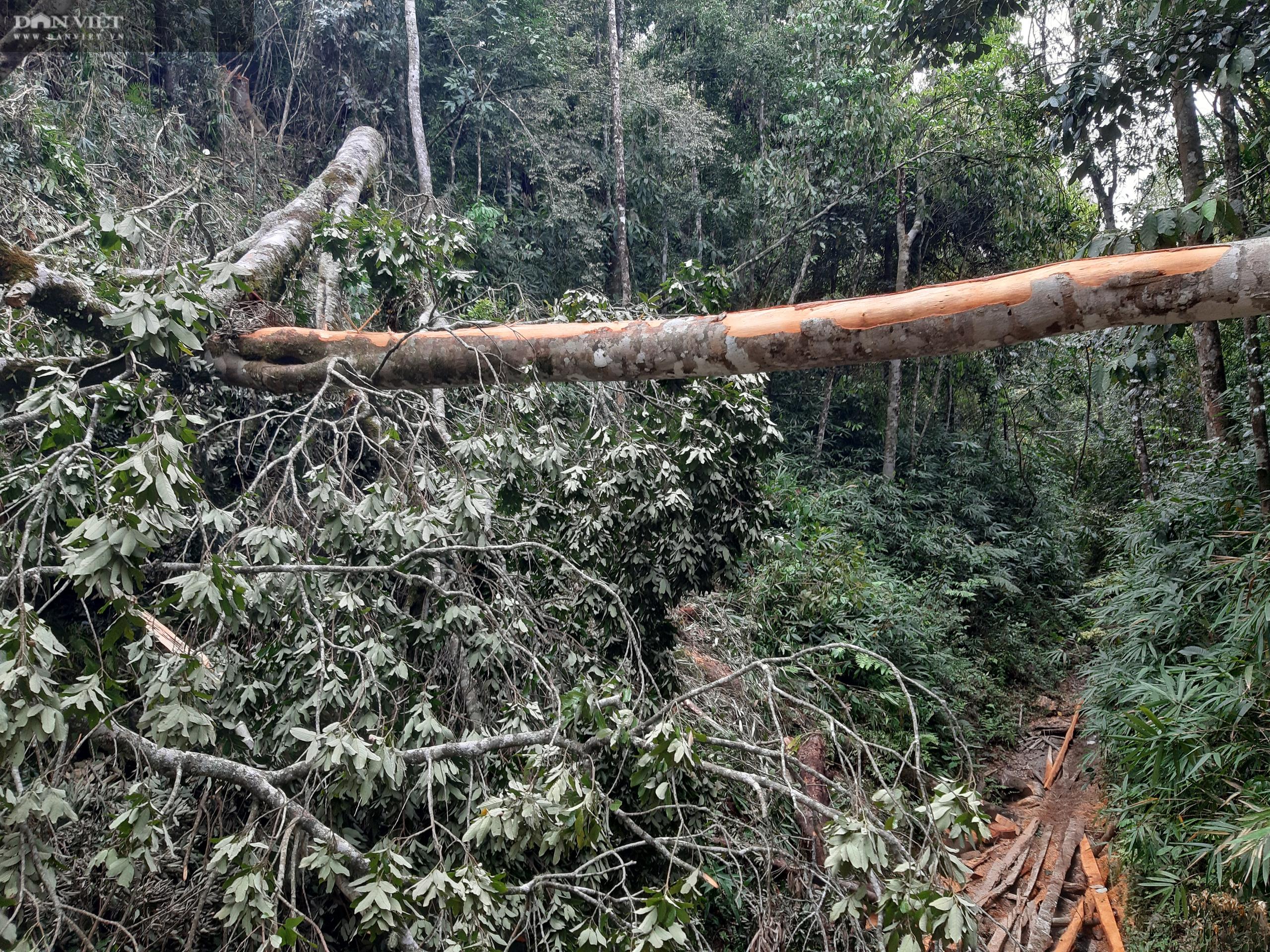 Vụ phá rừng pơ mu VQG Hoàng Liên: Có thể xử lý hình sự tùy theo mức độ vi phạm - Ảnh 4.