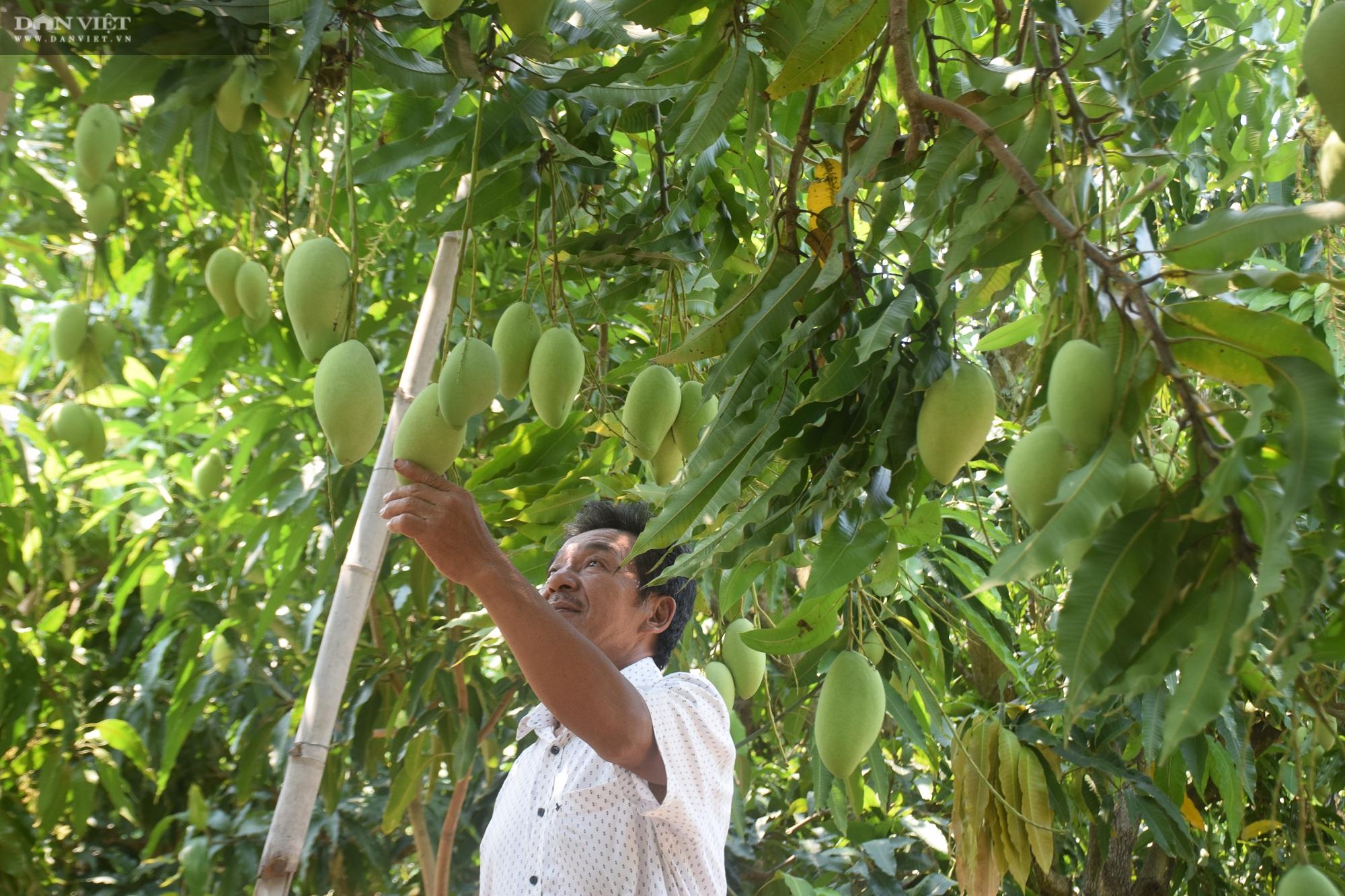 """Bình Định: Ở vùng đất này toàn cát, thế mà nông dân trồng xoài ra chi chít quả, chất lượng thì """"không thể chê"""" - Ảnh 3."""