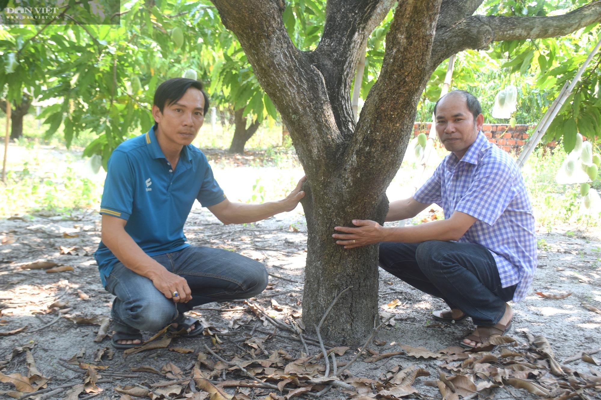 """Bình Định: Ở vùng đất này toàn cát, thế mà nông dân trồng xoài ra chi chít quả, chất lượng thì """"không thể chê"""" - Ảnh 5."""