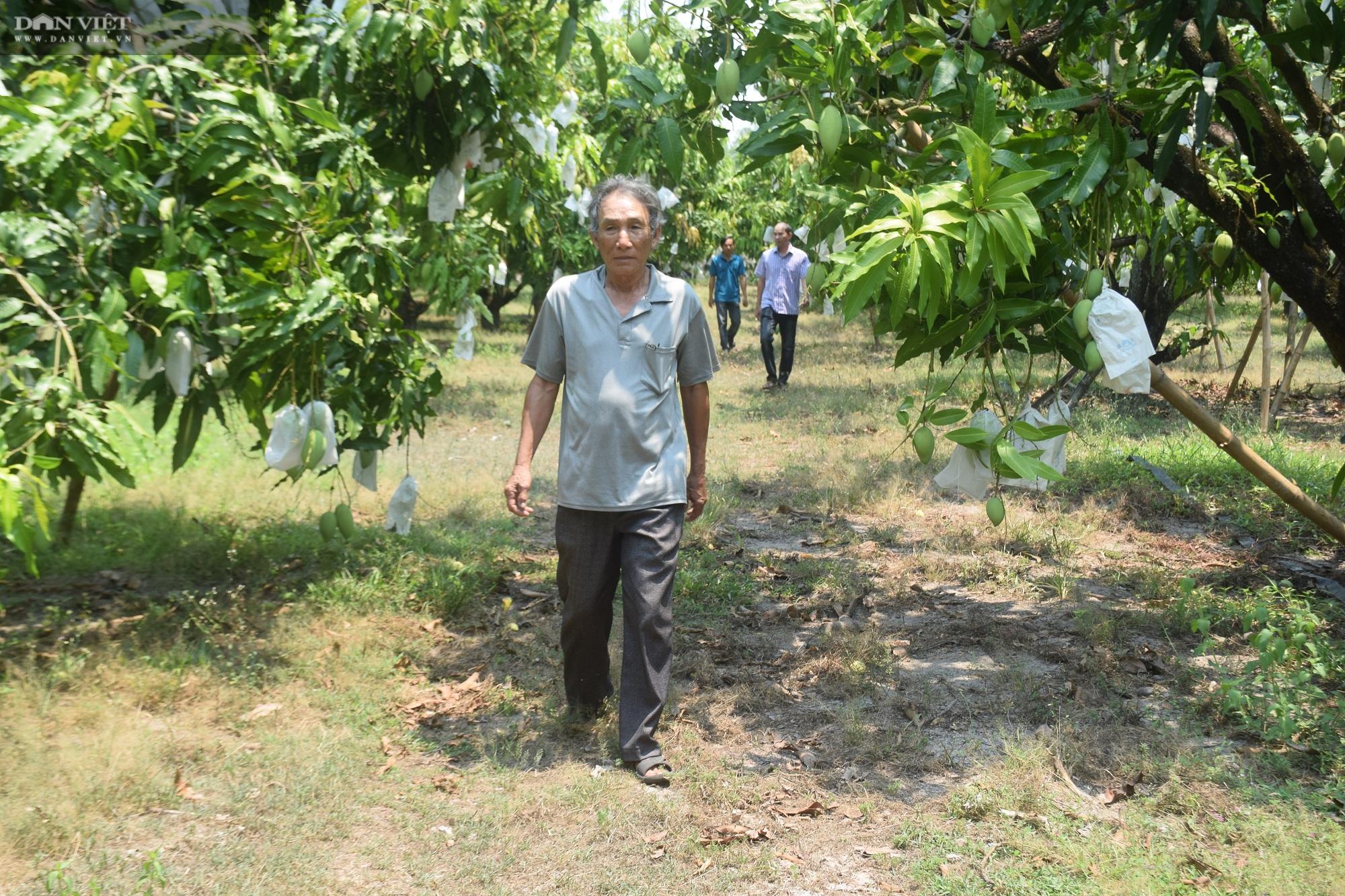 """Bình Định: Ở vùng đất này toàn cát, thế mà nông dân trồng xoài ra chi chít quả, chất lượng thì """"không thể chê"""" - Ảnh 6."""