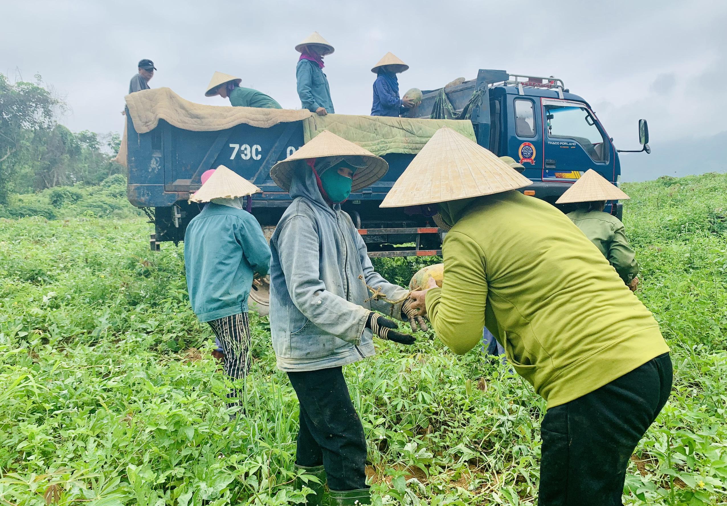 Quảng Bình: Dưa hấu cho quả to, nông dân đánh xe ô tô ra đồng thu hái - Ảnh 3.