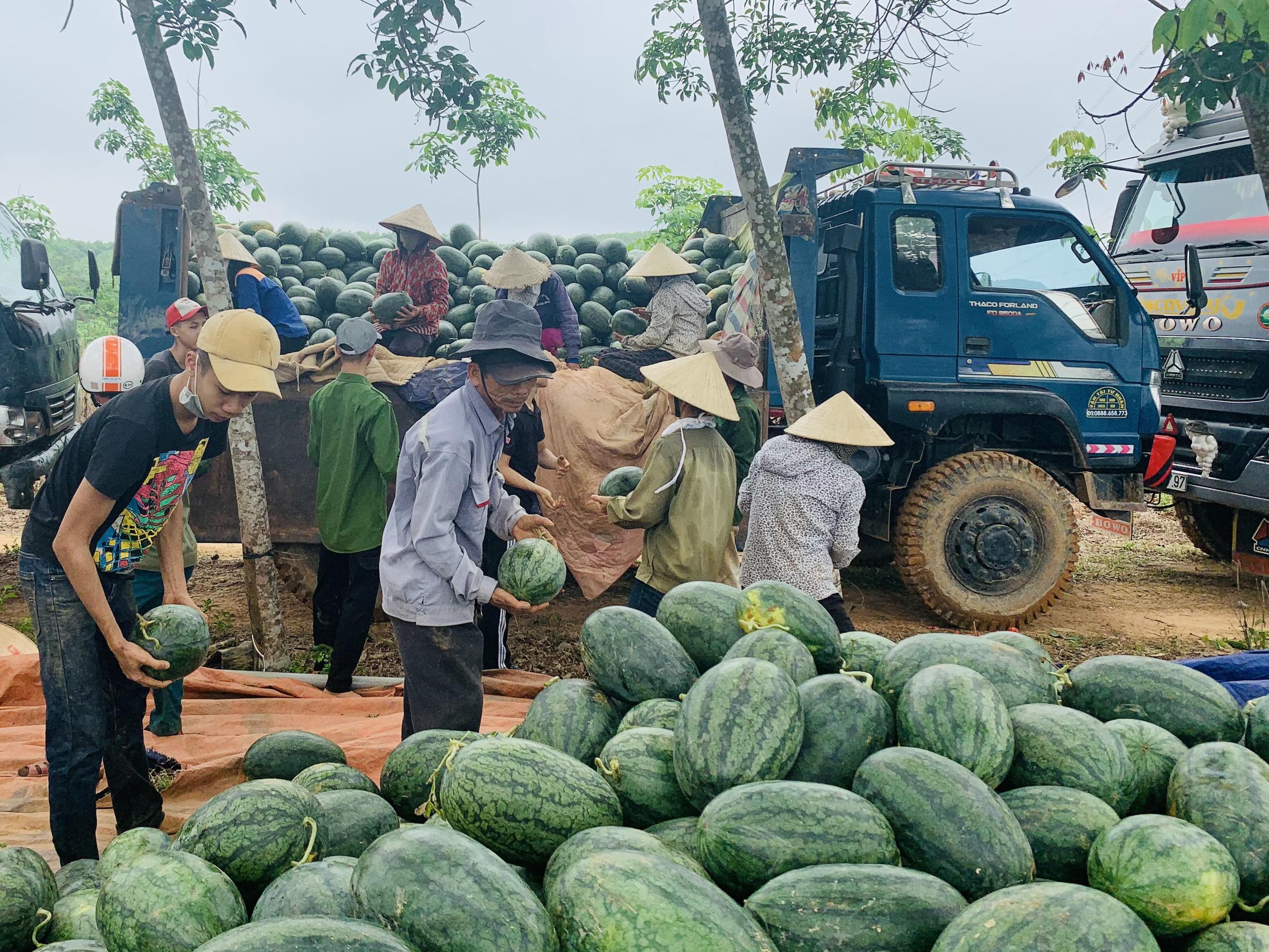 Quảng Bình: Dưa hấu cho quả to, nông dân đánh xe ô tô ra đồng thu hái - Ảnh 6.