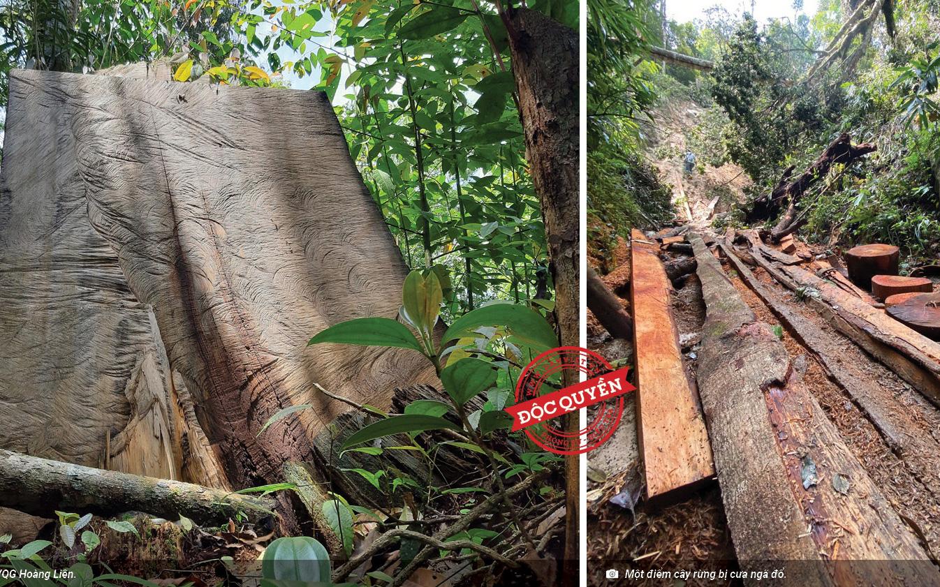 Vụ phá rừng pơ mu Vườn quốc gia Hoàng Liên: Tạm đình chỉ công tác Phó Hạt trưởng Hạt kiểm lâm