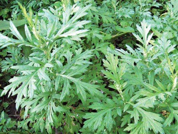 Thật bất ngờ: Loại rau ở Việt Nam mọc đầy vườn có hoạt chất chống virus COVID-19 rất mạnh - Ảnh 1.