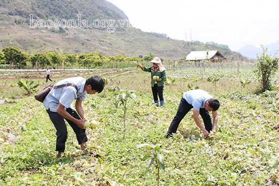 Sơn La: Trồng 2 giống dưa bò lan mặt đất, vừa thơm vừa ngọt, dân bản này nhẹ nhàng bỏ túi 3 tỷ đồng/vụ - Ảnh 1.