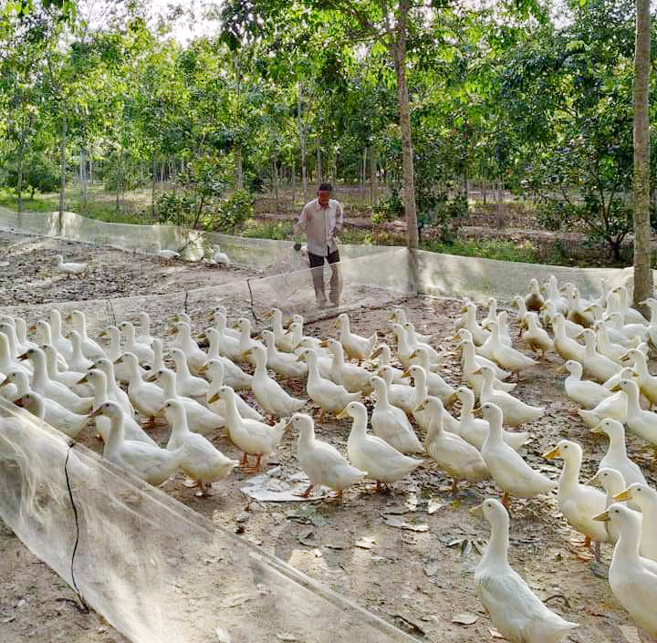 Giá gia cầm hôm nay 9/5: Giá vịt thịt miền Nam cao nhất cả nước, gà công nghiệp bán chậm - Ảnh 1.
