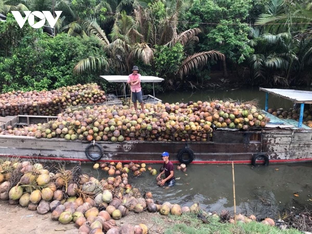 Cả thế giới thiếu loại quả này, giá dừa xiêm xanh tăng cao nhất 1 năm qua - Ảnh 1.