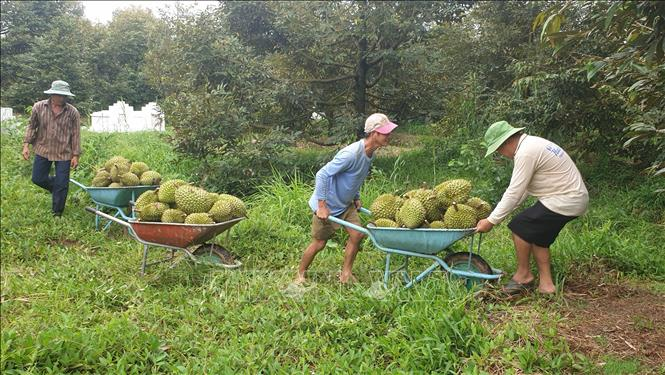 """Vì sao giá sầu riêng đầu mùa tăng cao, nhưng niềm vui của nông dân ở nơi này """"bị trừ"""" đi 1 nửa? - Ảnh 4."""