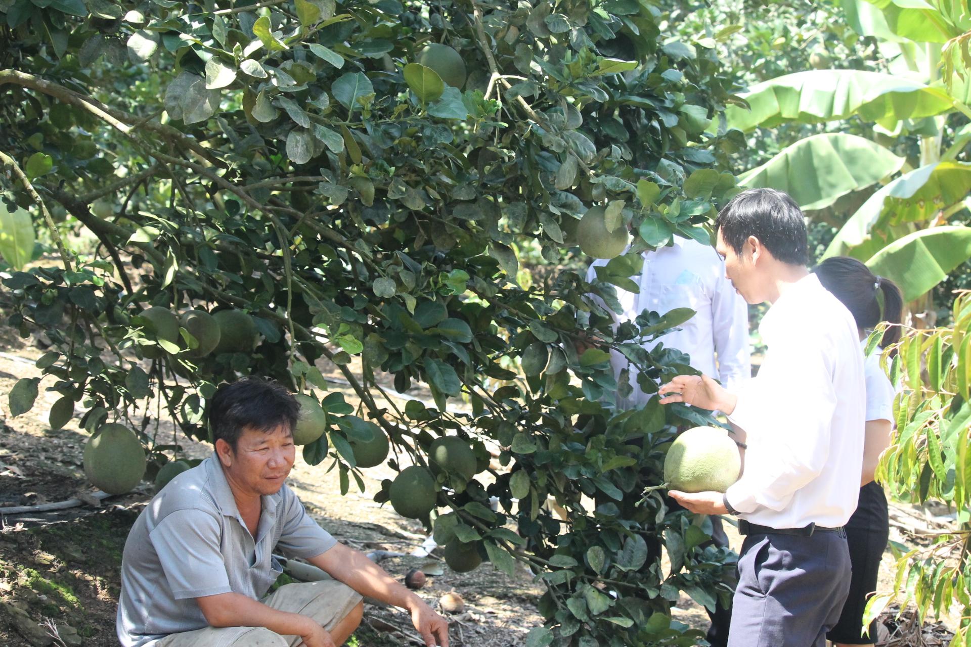 Khánh Hòa: Nông dân vươn lên làm giàu từ trồng bưởi, chuối,nuôi bò,... - Ảnh 3.