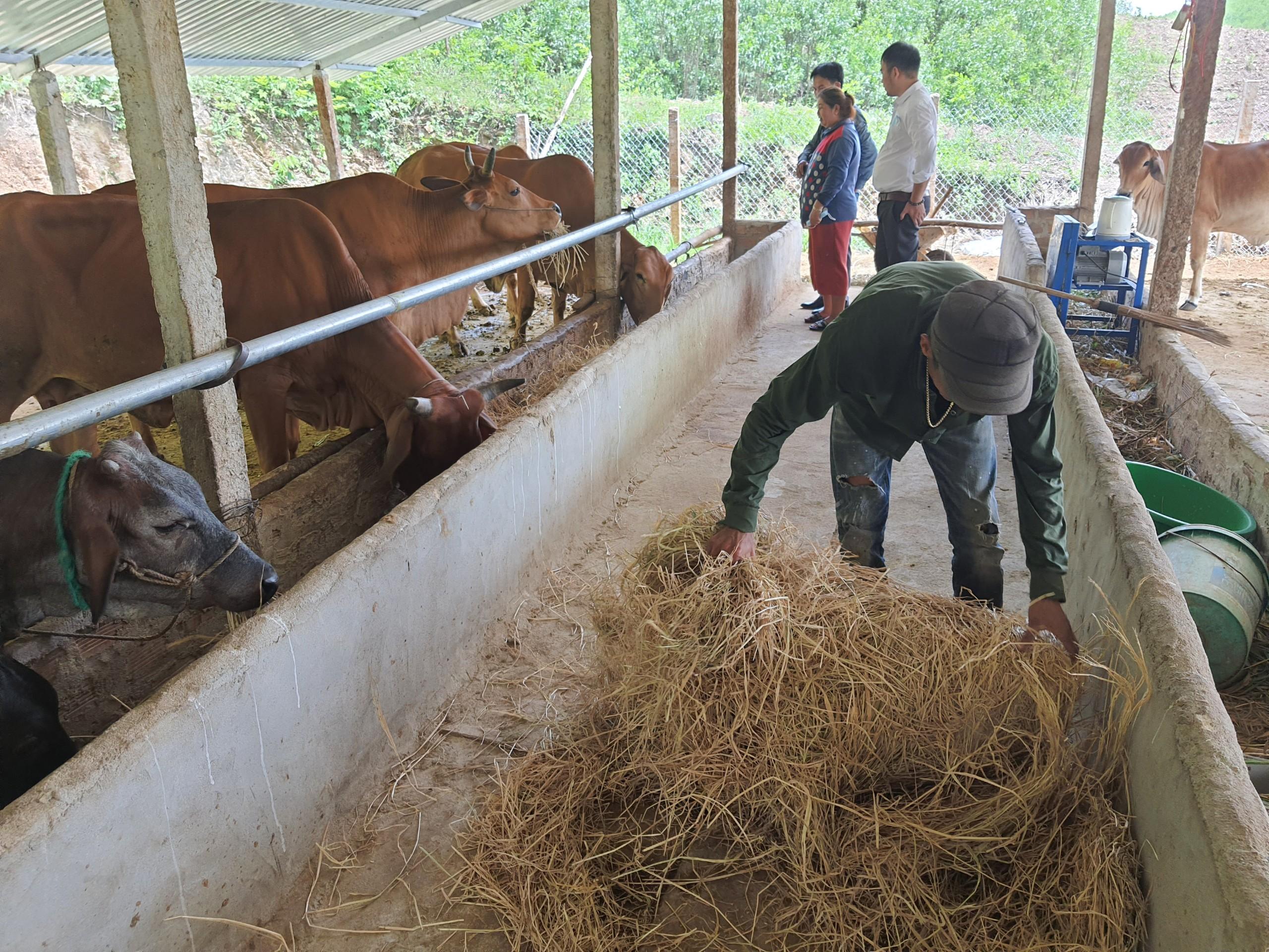 Khánh Hòa: Nông dân vươn lên làm giàu từ trồng bưởi, chuối,nuôi bò,... - Ảnh 2.