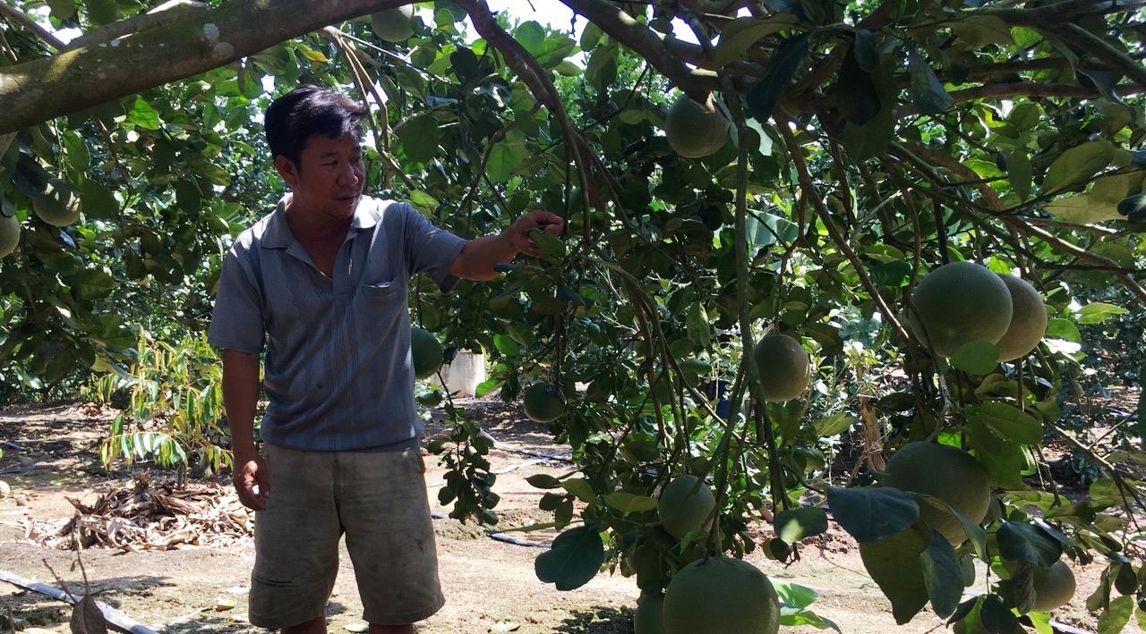 Khánh Hòa: Nông dân vươn lên làm giàu từ trồng bưởi, chuối,nuôi bò,... - Ảnh 1.