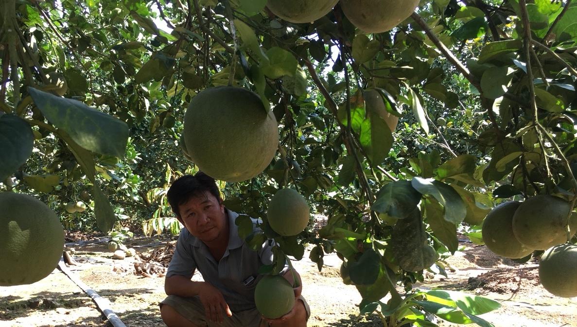 Khánh Hòa: Nông dân vươn lên làm giàu từ trồng bưởi, chuối,nuôi bò,... - Ảnh 4.