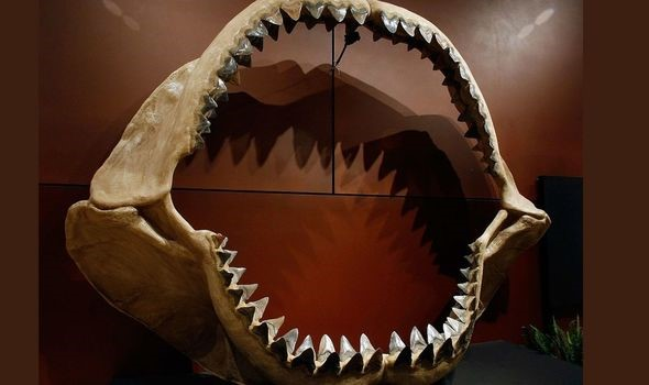 Quái vật Megalodon có thể to hơn rất nhiều so với tưởng tượng của con người - Ảnh 2.